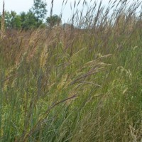 Grasses-Miller-Seed-unspecified-1