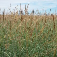 Grasses-Miller-Seed-unspecified-10