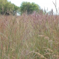 Grasses-Miller-Seed-unspecified-12