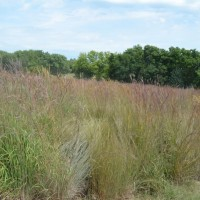 Grasses-Miller-Seed-unspecified-2