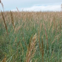 Grasses-Miller-Seed-unspecified-7