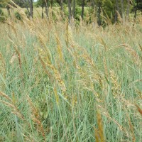 Grasses-Miller-Seed-unspecified-9