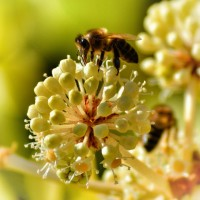 native-pollinator-mix-miller-seed